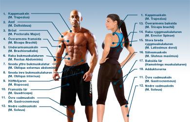 Muskelkarta Namn Pa Muskler Mage Rumpa Och Lar Fokus